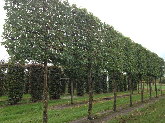 Liquidambar als leiboom: Amberboom