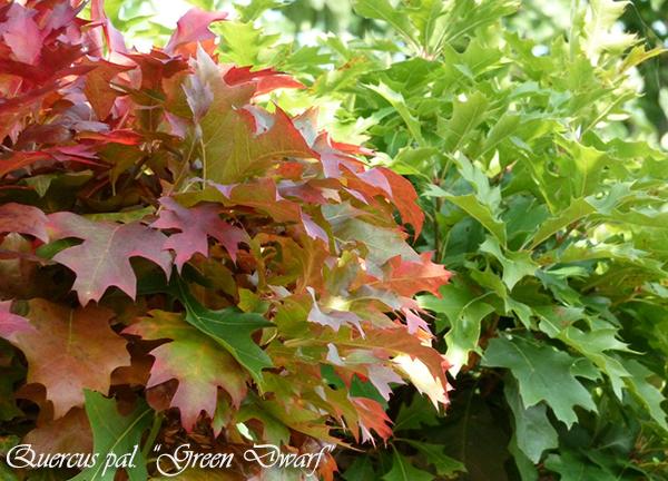 Quercus Green Dwarf: Bomen voor kleine tuin